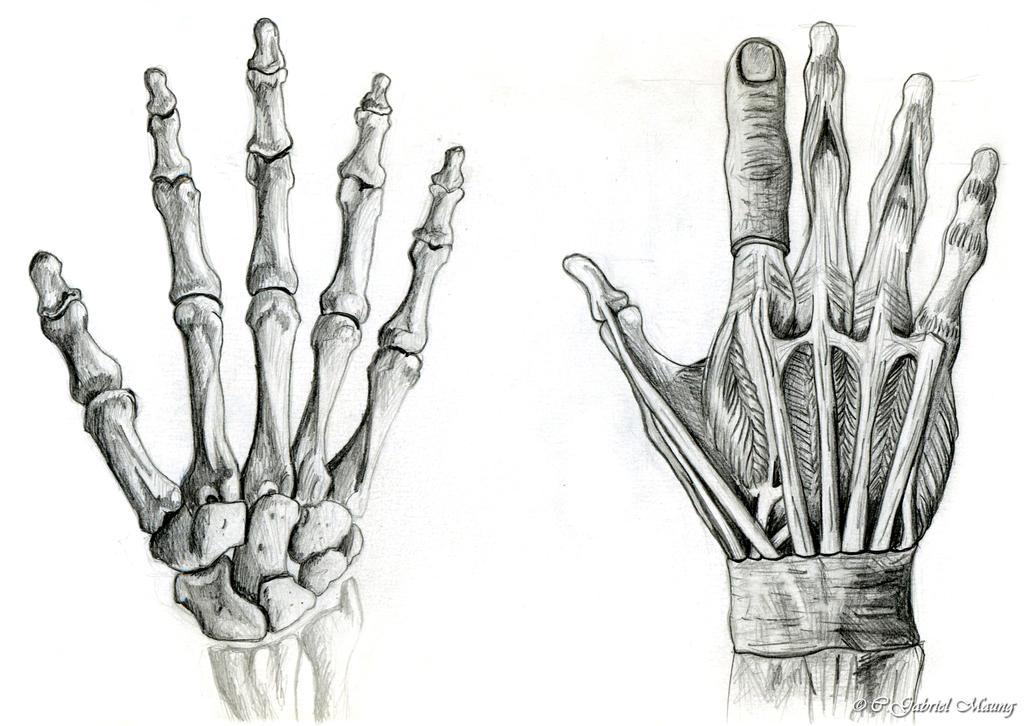 Anatomical Hands by Psybernaut on DeviantArt