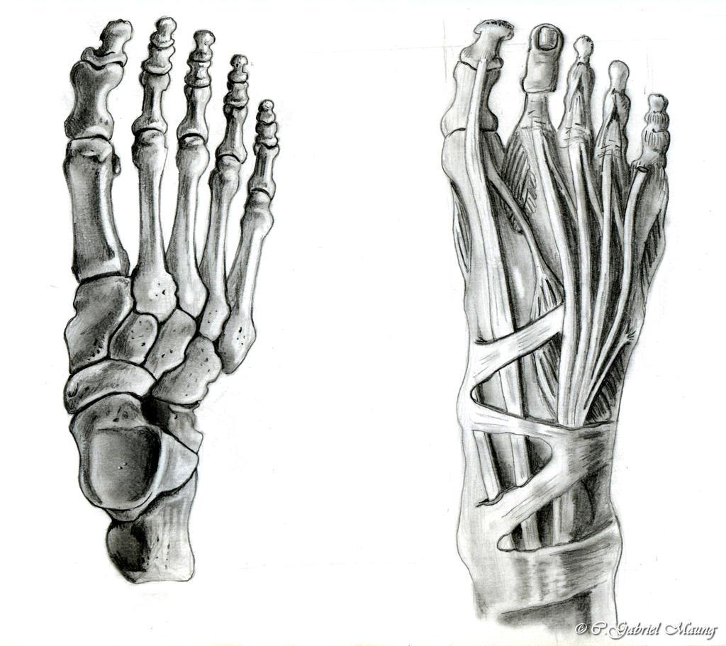 Anatomical Feet by Psybernaut on DeviantArt