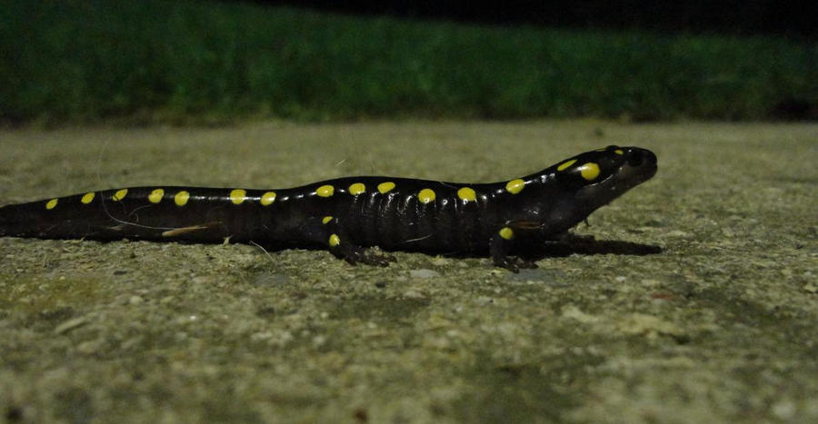 Yellow Spotted Salamander by Perocore