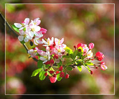 apple blossom by bracketting94
