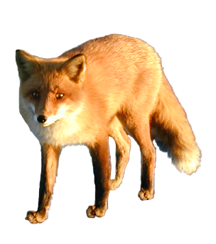 Cut Out Fox by SolStock