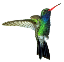 cut out Hummingbird by SolStock
