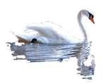 cut out Swan and reflection