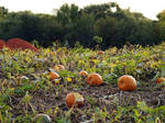 Where's the Great Pumpkin?
