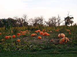 Creepy Pumpkin Patch by SolStock