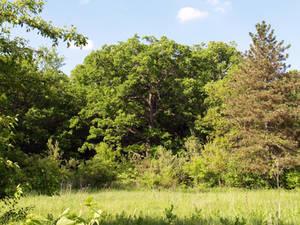 Oak and field