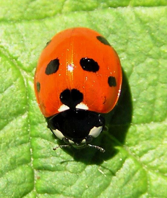 ladybug by SolStock
