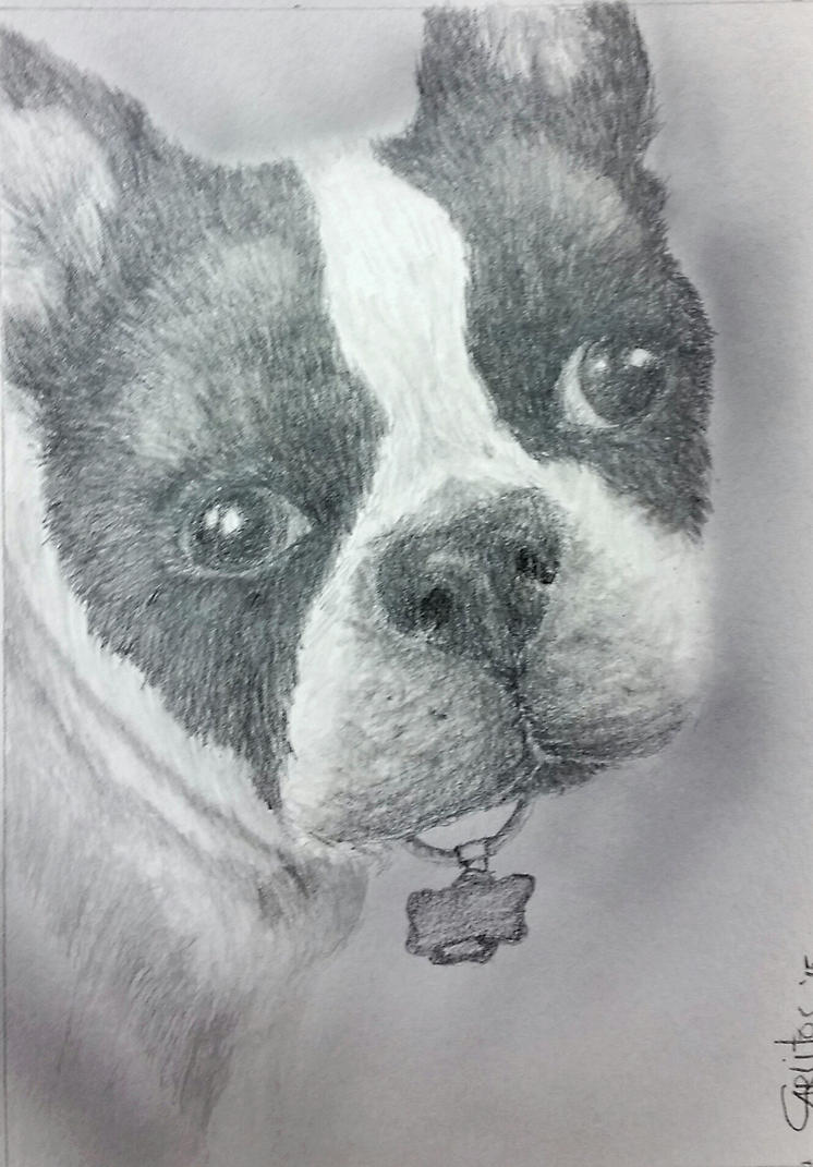 Boston Terrier by zotilraxx