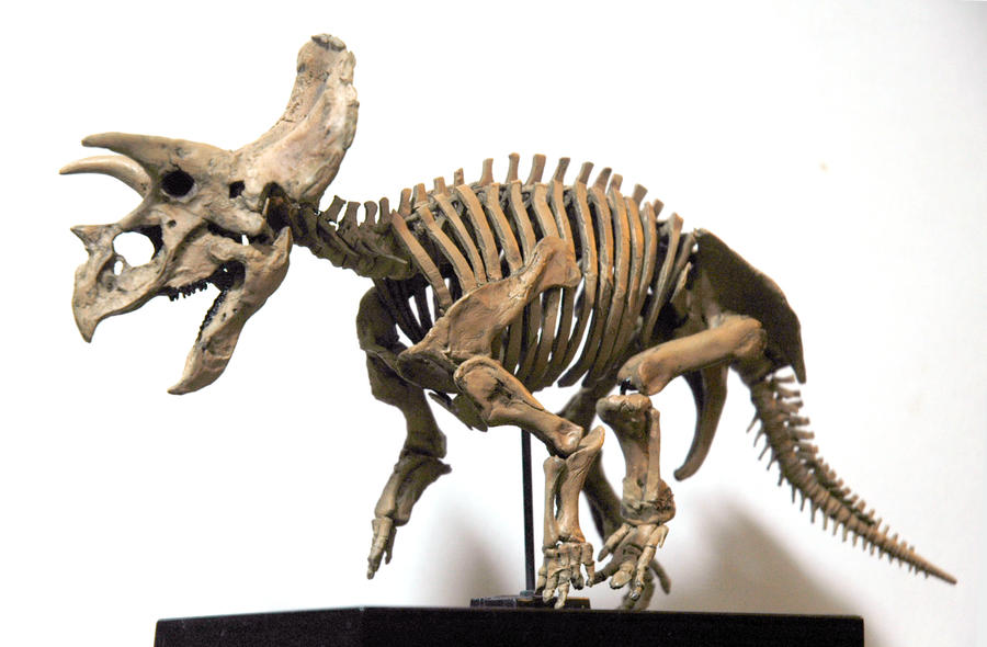 Triceratops skeleton by hannay1982