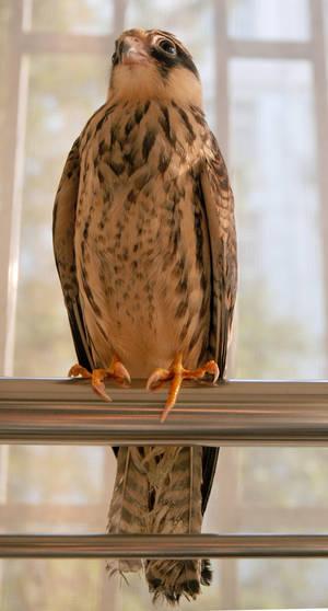 Falco amurebsis