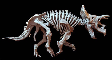 triceratops step 10