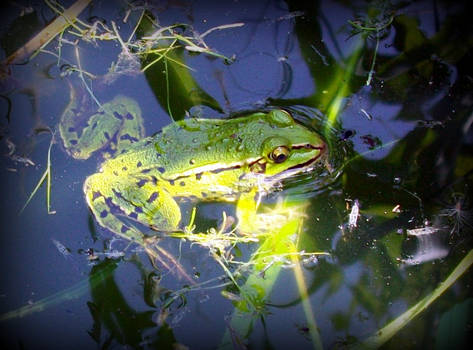 green toad in the water