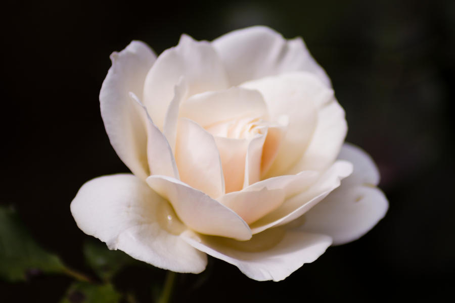 rose by O-z-i-e