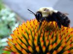 Carpenter Bee feeding