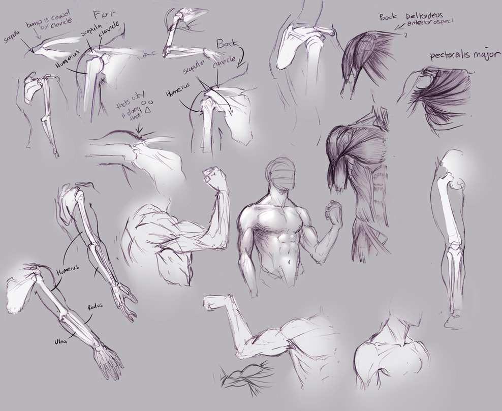 Upper Arm And Shoulder Anatomy By Moni158 On Deviantart