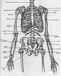 Skeletal Torso - Anatomy