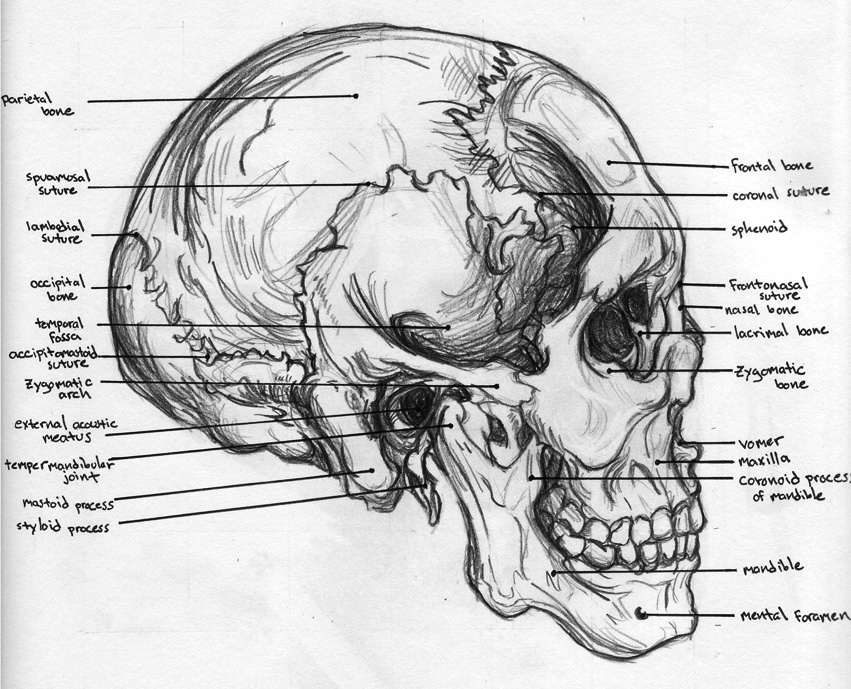 Skull - Anatomy by BadFish81 on DeviantArt