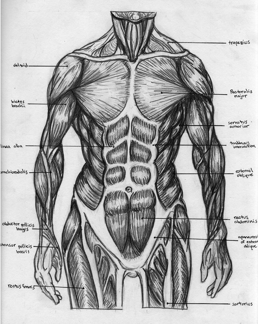 Male torso muscle anatomy