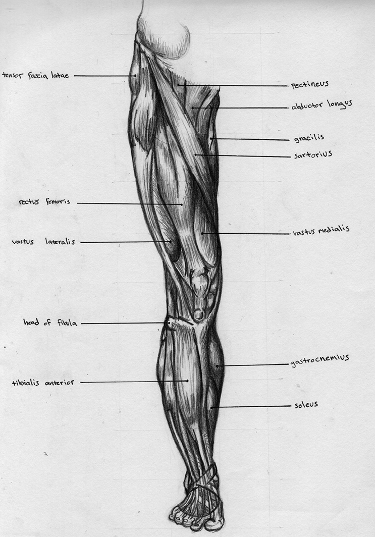 Front Leg Muscle Diagram - Electrical Work Wiring Diagram •