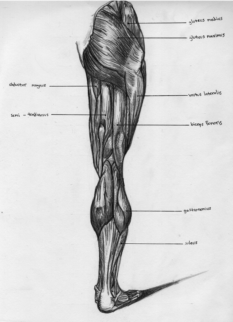Leg Back Muscle Chart by BadFish81 on DeviantArt