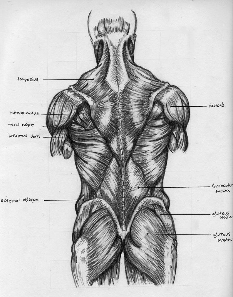 Back muscle anatomy chart