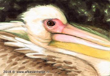 Pelican by afke11
