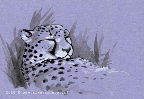 Snoozing Cheetah