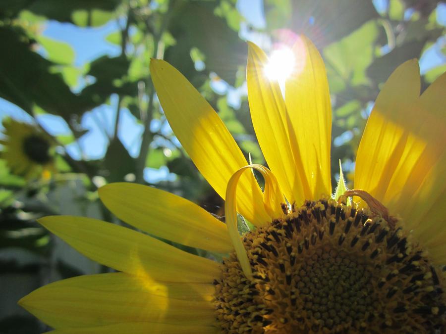 Sunflowers II by mearaskye