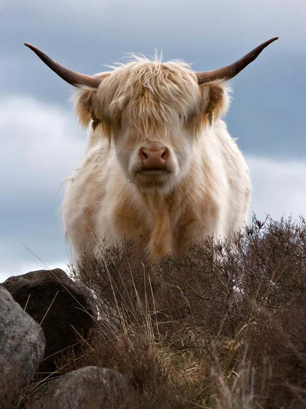 Longhorn by AshleyWatts-DA