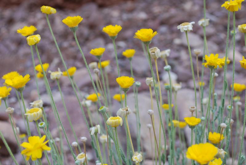Yellow desert flowers by honda vfr on deviantart yellow desert flowers by honda vfr mightylinksfo