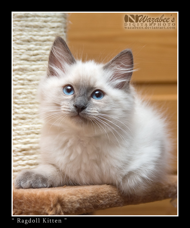 Ragdoll Kitten by wazabees
