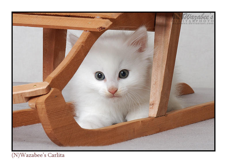 White kitten on a sled