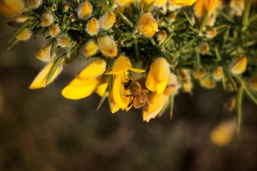 Gorse 3 - Honey Bee