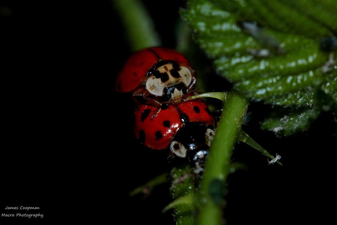 Lady beetles having fun by Jyaro
