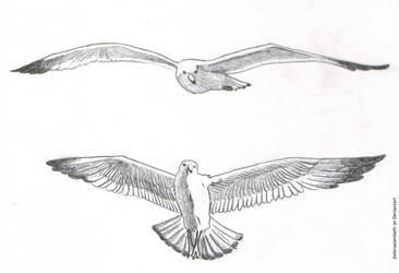 Seagulls study II by ElenaZambelli