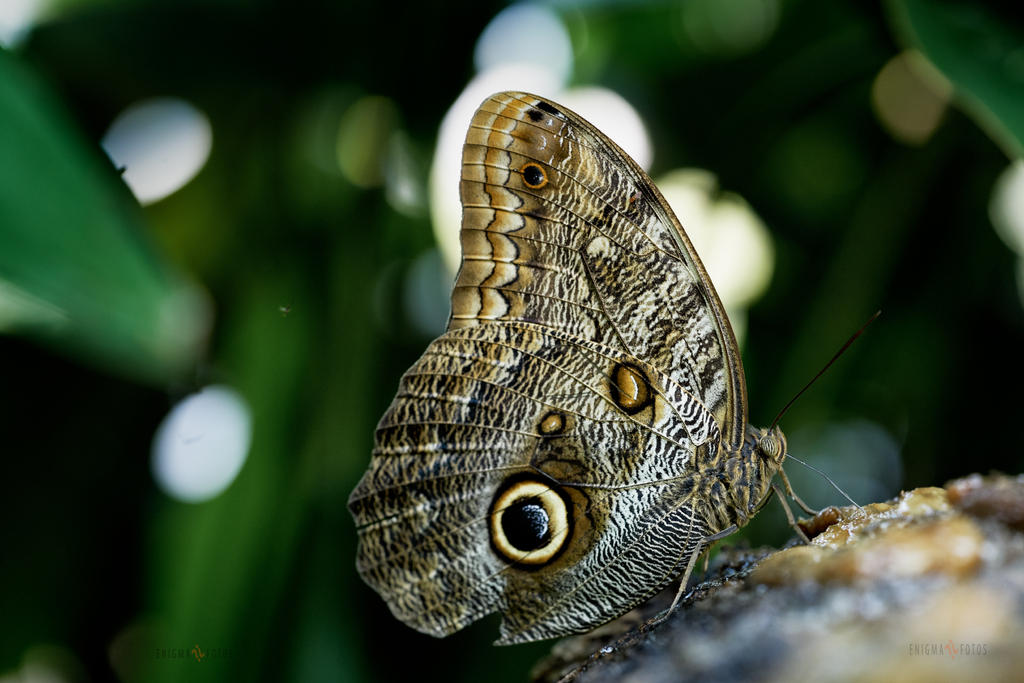 Butterfly by Enigma-Fotos