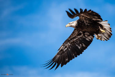 Young Bald Eagle by Enigma-Fotos