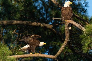 Mom and Dad - American Bald Eagles by Enigma-Fotos