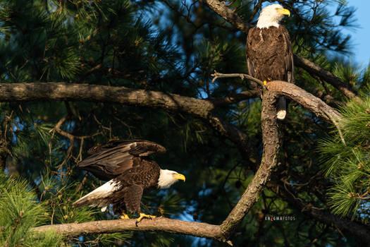 Mom and Dad - American Bald Eagles