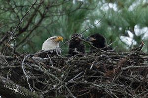 Bald Eagle Mom And Babies by Enigma-Fotos