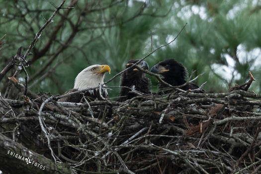 Bald Eagle Mom And Babies
