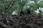 Bald Eagle Mom And Babies
