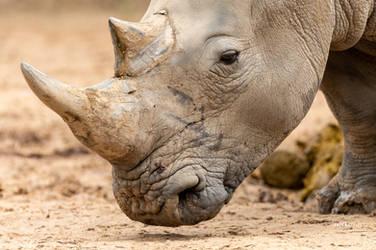 Rhino by Enigma-Fotos