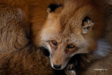 Fox by Enigma-Fotos