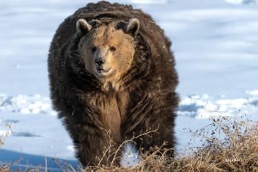 Bear by Enigma-Fotos