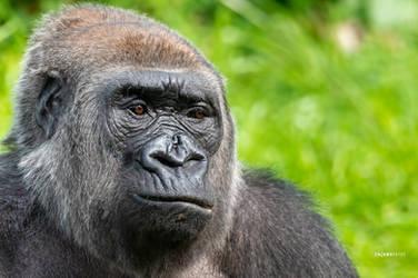 Silverback Gorilla by Enigma-Fotos