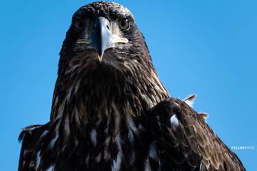 Juvenile Bald Eagle by Enigma-Fotos
