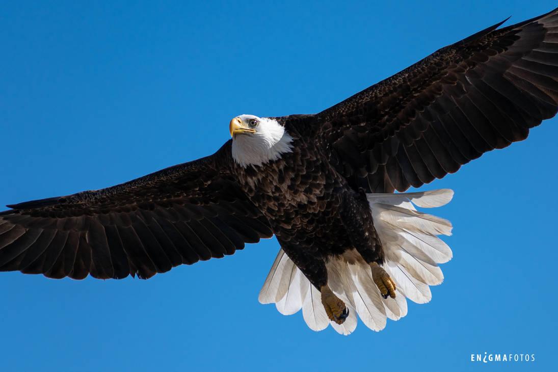 Bald Eagle in Flight by Enigma-Fotos