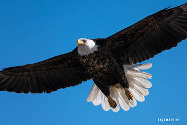 Bald Eagle in Flight by Enigma-Fotos