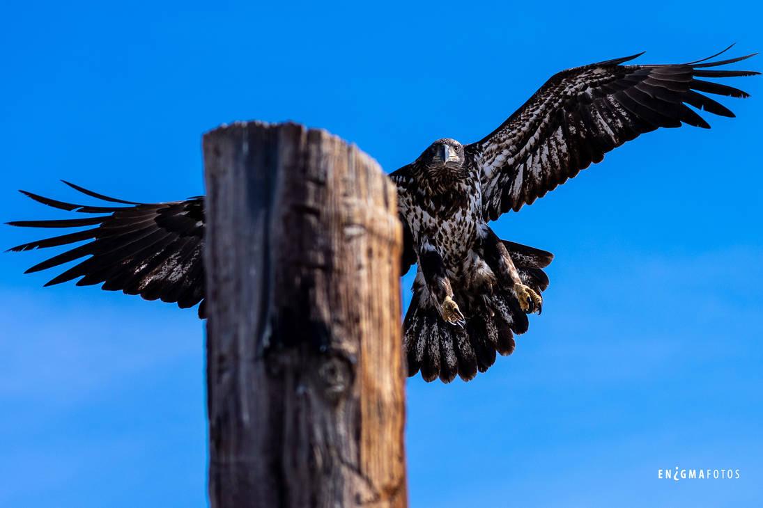 Juvenile Bald Eagle in Flight by Enigma-Fotos